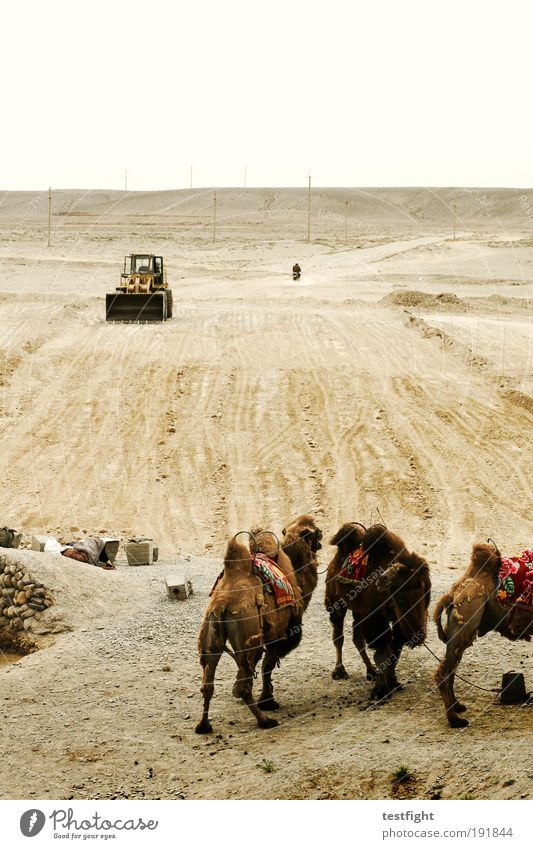 Nature Animal Sand Wait Environment Earth Group of animals Desert China Traffic infrastructure Exotic Excavator Camel Farm animal Road construction Construction vehicle