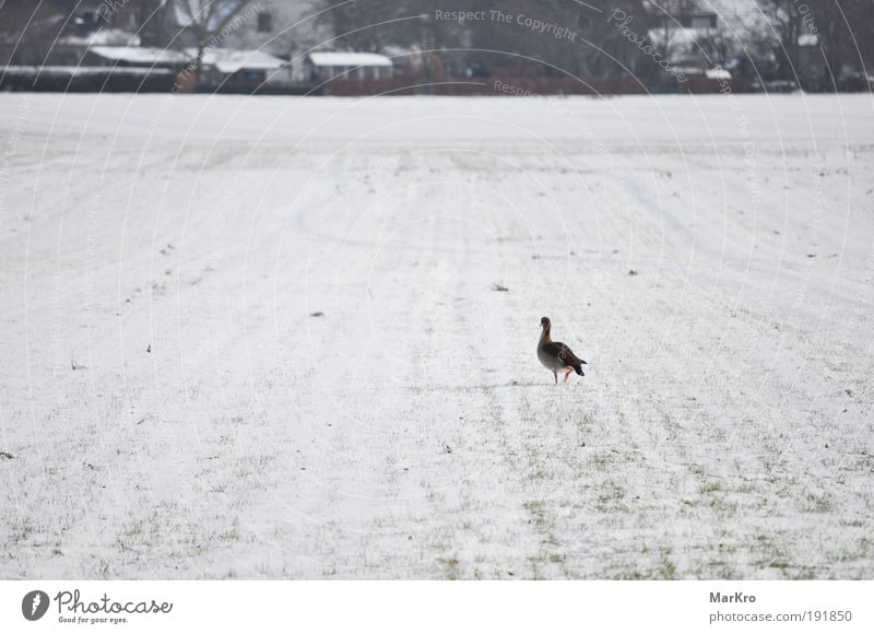 FAR Nature Landscape Winter Snow Grass Field Village Animal Bird 1 Going Walking Looking Far-off places Cold Loneliness Colour photo Exterior shot Day