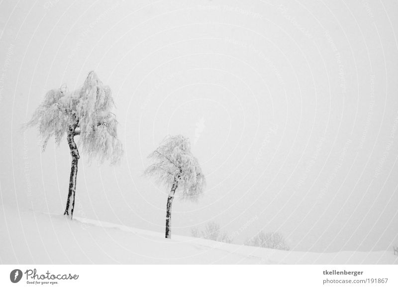 winter never ends III Elements Clouds Winter Fog Snow Tree Freeze Going To enjoy Cold Gloomy Gray Black White Nature High fog Birch tree Twigs and branches