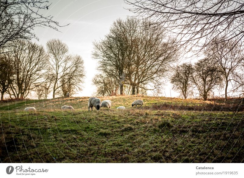 Before going to bed Landscape Plant Animal Sunrise Sunset Sunlight Winter Beautiful weather Tree Grass Beech tree Meadow Forest Farm animal Sheep Herd To feed