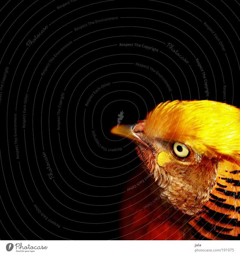 Gold Pheasant Wild animal Bird Zoo Crazy Multicoloured Feather Black Colour photo Exterior shot Copy Space left Copy Space right Neutral Background Day