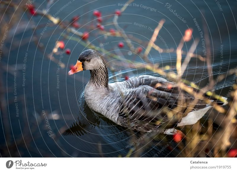 Greylag Goose II Nature Plant Animal Water Winter Beautiful weather Berries Hawthorn River bank Bird Gray lag goose 1 Observe Swimming & Bathing Fresh Blue