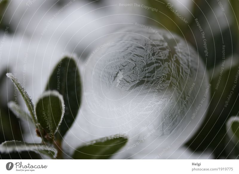 filigree ice art III Environment Nature Plant Winter Ice Frost Bushes Garden Soap bubble Freeze Lie Esthetic Exceptional Beautiful Uniqueness Cold Round Gray