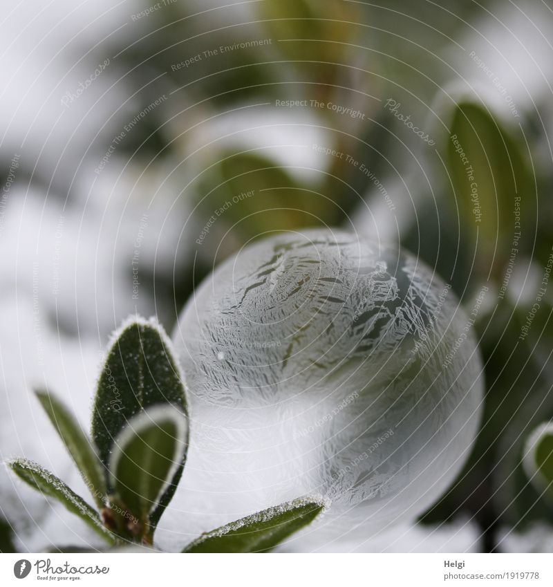 filigree ice art Environment Nature Plant Winter Ice Frost Leaf Garden Soap bubble Freeze Lie Exceptional Beautiful Uniqueness Cold Gray Green White Esthetic