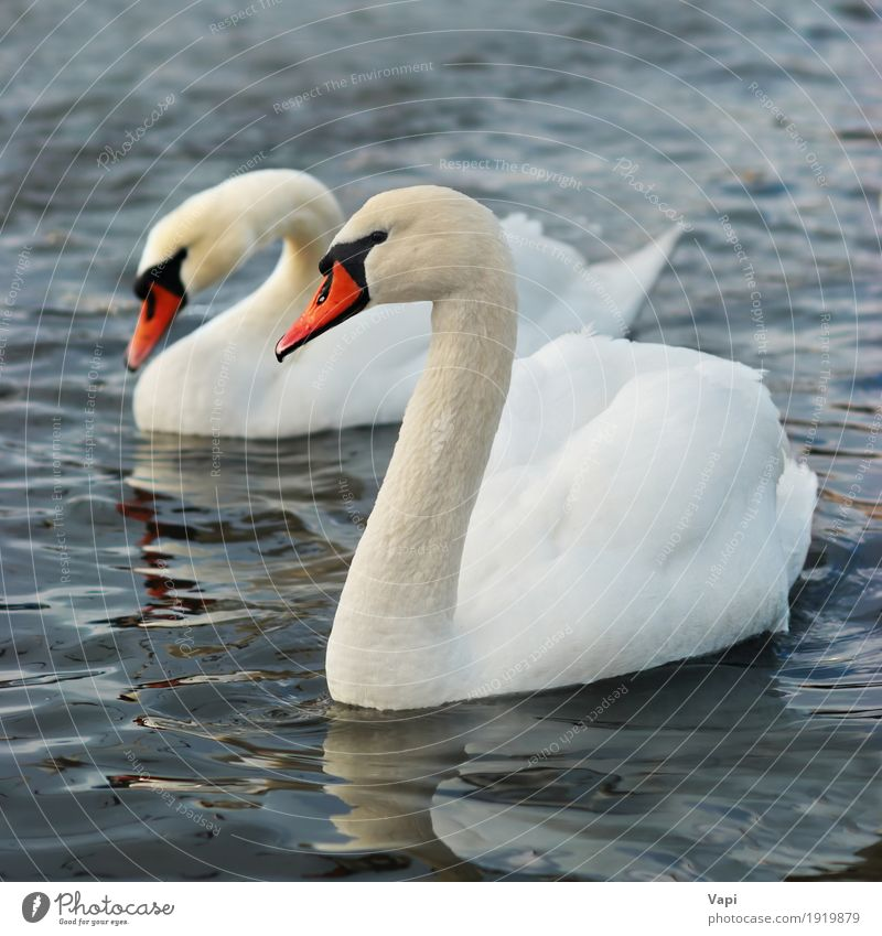 Pair of white swans Elegant Beautiful Zoo Environment Nature Landscape Animal Water Pond Lake River Wild animal Bird Swan Wing 2 Touch Love Cute Clean Blue
