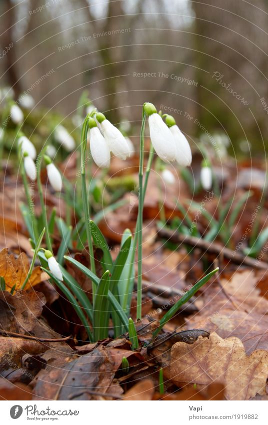 Spring flowers- white snowdrops in the forest Winter Garden Nature Plant Flower Grass Leaf Blossom Wild plant Park Meadow Forest Drop Fresh Natural New Brown