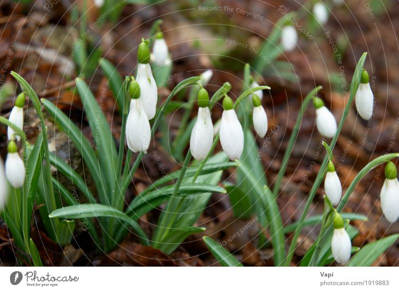 Spring flowers- white snowdrops in the forest Winter Garden Environment Nature Plant Flower Grass Leaf Blossom Wild plant Park Meadow Forest Drop Fresh Natural