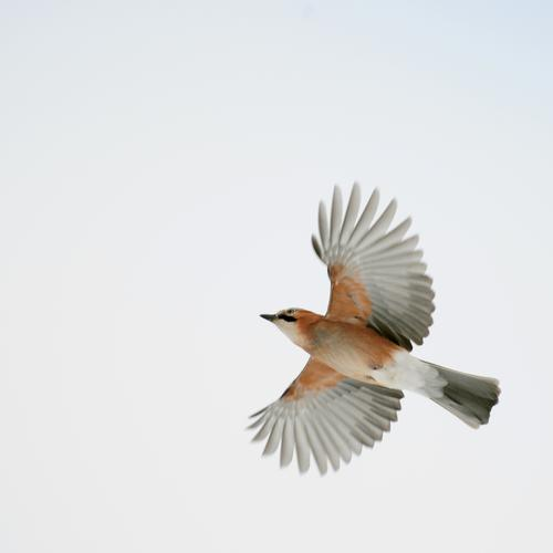 Wings wide open Environment Nature Animal Air Sky Wild animal Bird Jay 1 Flying Free Bright Natural Optimism Success Movement Freedom Colour photo Exterior shot
