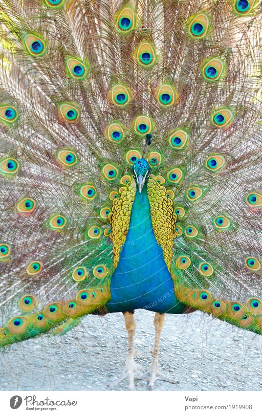 Blue peacock Colour Green Animal Yellow Bird Wild animal Feather India Parking Consistency Tropical Nationalities and ethnicity Peacock Indian Ornate