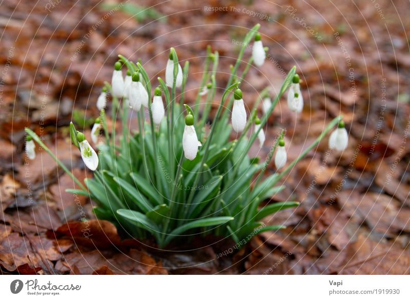 Spring flowers- white snowdrops in the forest Winter Garden Environment Nature Plant Drops of water Flower Grass Leaf Blossom Wild plant Park Meadow Forest