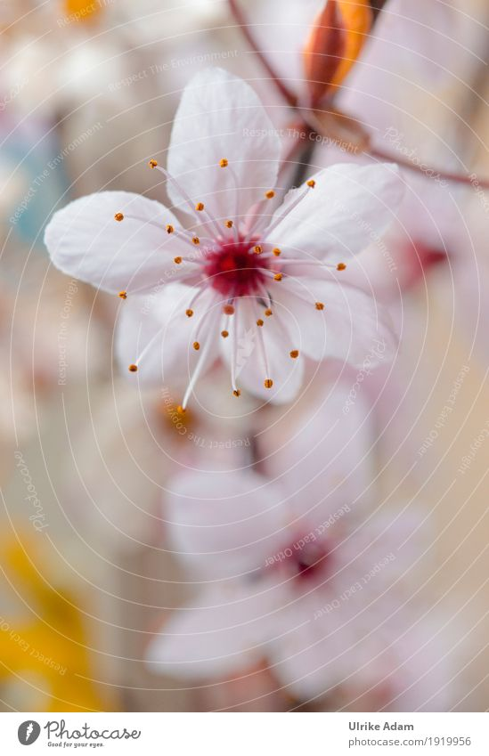 Spring - Japanese cherry blossoms Elegant Design Garden Interior design Decoration Wallpaper Image Poster Nature Plant Tree Flower Blossom Cherry tree