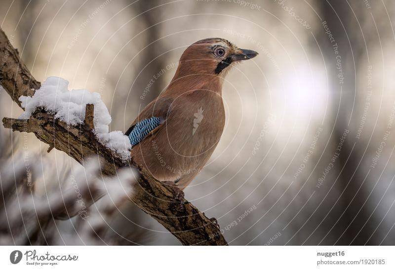 Blue White Animal Black Brown Bird Orange Contentment Wild animal Sit Esthetic Wing Animal face Brash Claw Jay