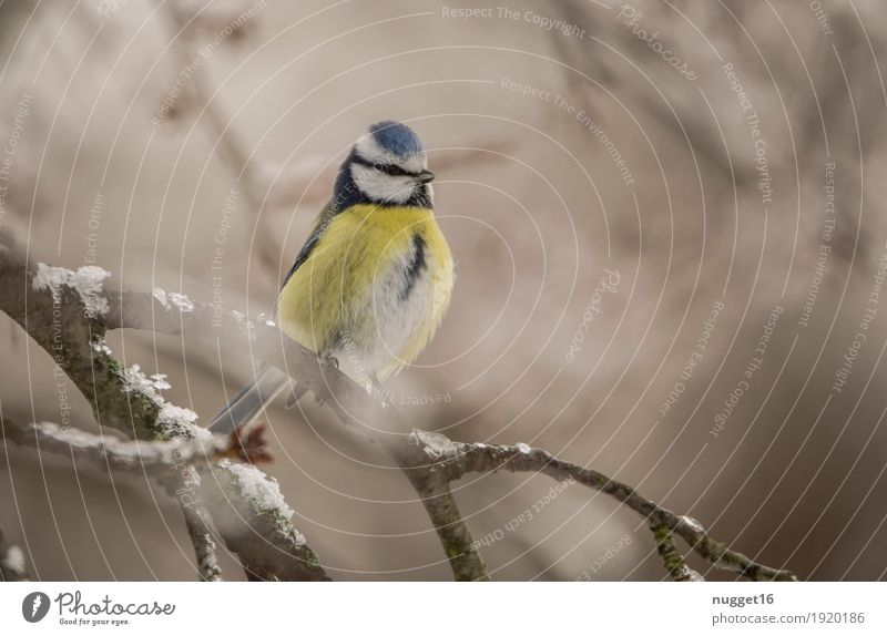 Blue Tit Environment Nature Animal Winter Beautiful weather Ice Frost Snow Tree Garden Park Forest Wild animal Bird Animal face Wing Tit mouse 1 Observe Sit