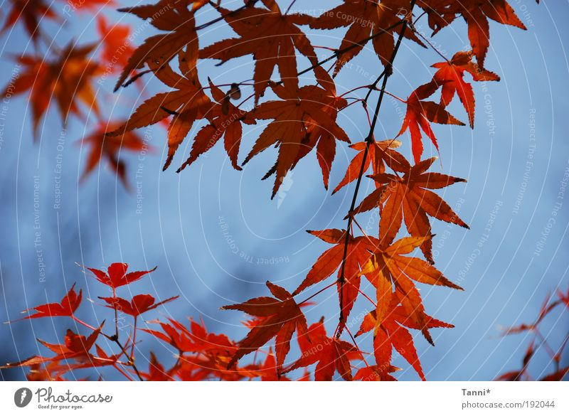 Sky Tree Blue Plant Red Summer Leaf Animal Spring Moody Maple tree Maple leaf