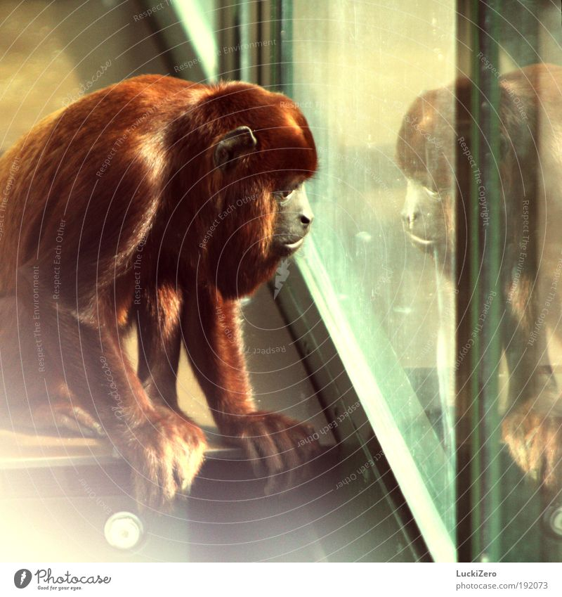 homesick Hair and hairstyles Far-off places Freedom Summer Nature Virgin forest Window Red-haired Long-haired Animal Wild animal Animal face Zoo Monkeys 1