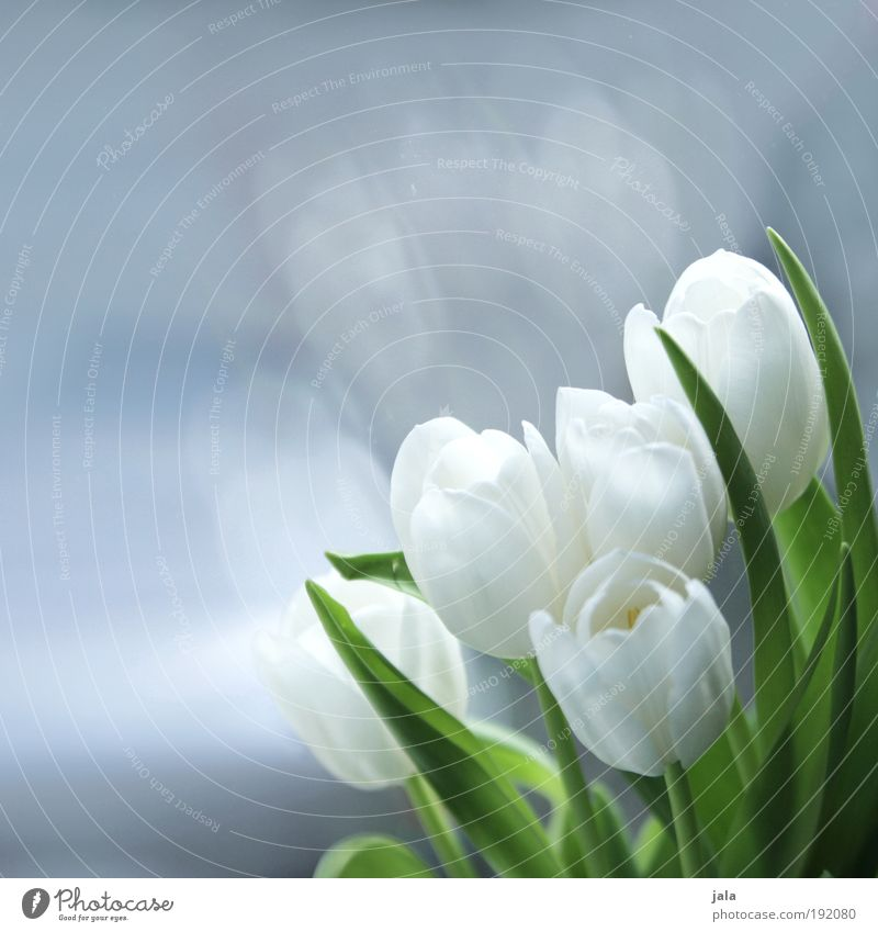 a little spring at the window Plant Flower Tulip Fragrance To enjoy Esthetic Beautiful White Glass Pane Foliage plant Blossom Leaf Spring Colour photo