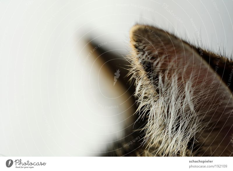 Listen! Cat Domestic cat European Shorthair 1 Animal Attentive Watchfulness Calm ears Ear hangover Colour photo Close-up Detail Macro (Extreme close-up)