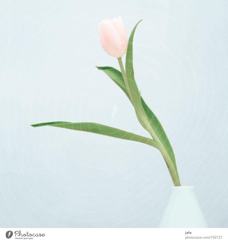 Four oh oh Plant Flower Tulip Esthetic Simple Elegant Beautiful Pink Light blue Vase Colour photo Subdued colour Interior shot Neutral Background