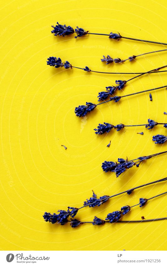 lavender straws on yellow background Vacation & Travel Beautiful Flower Relaxation Calm Joy Warmth Life Interior design Emotions Lifestyle Feminine Style Garden
