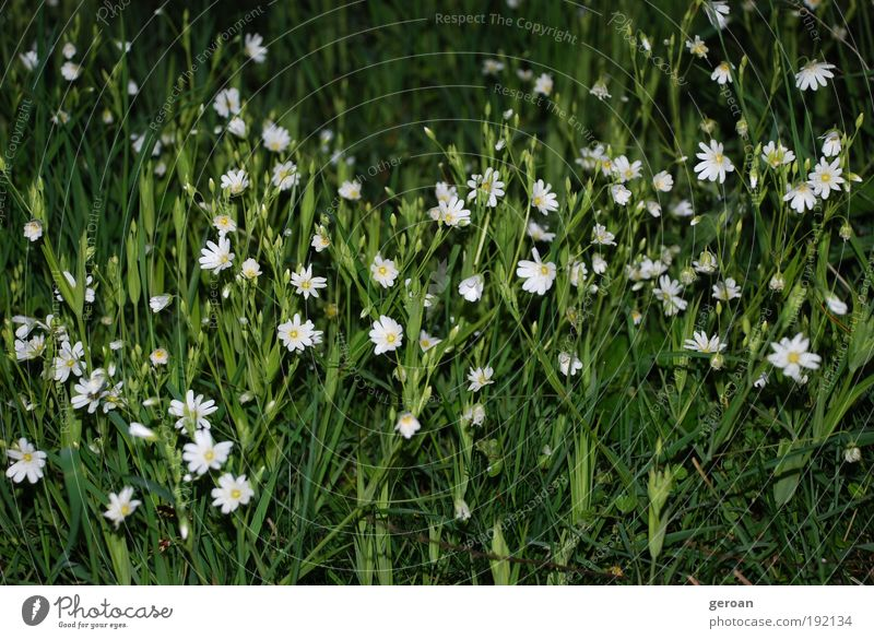 Nature White Flower Green Plant Summer Calm Meadow Blossom Grass Park Fresh Growth Natural Serene Blossoming