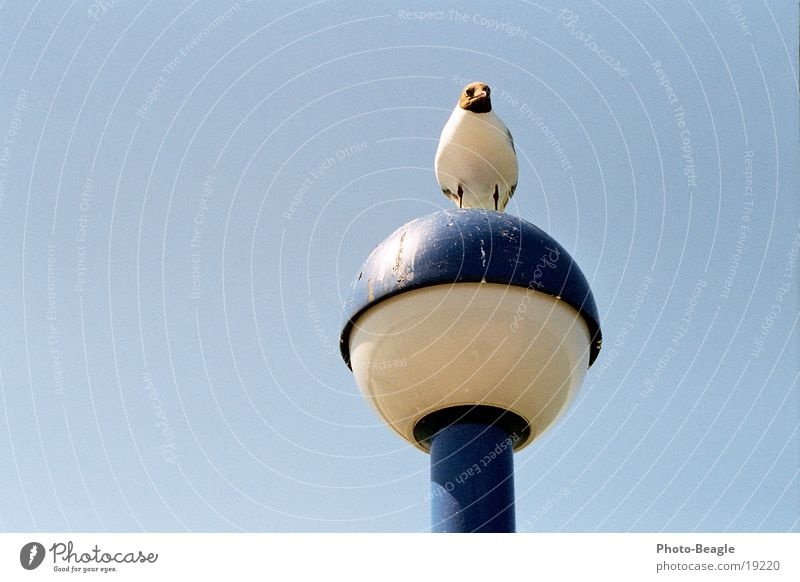 Bird Dirty Lantern Seagull Gull birds Seabridge Zingst
