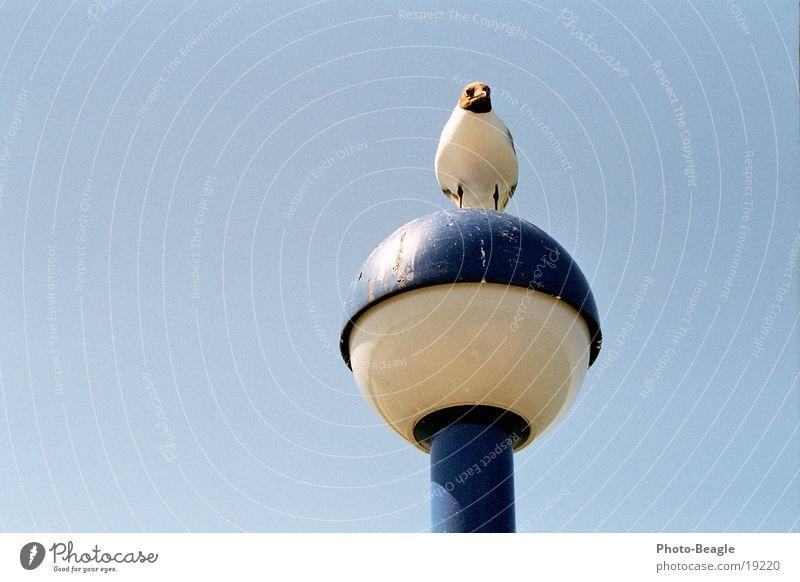 Jonathan? Seagull Lantern Seabridge Zingst Bird Gull birds bird droppings Dirty