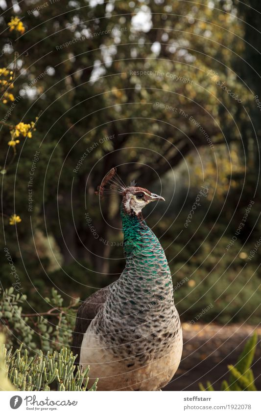 Brown and green female peafowl Pavo muticus Woman Man Blue Green Animal Adults Garden Bird Wild animal Feather Peacock Wild bird