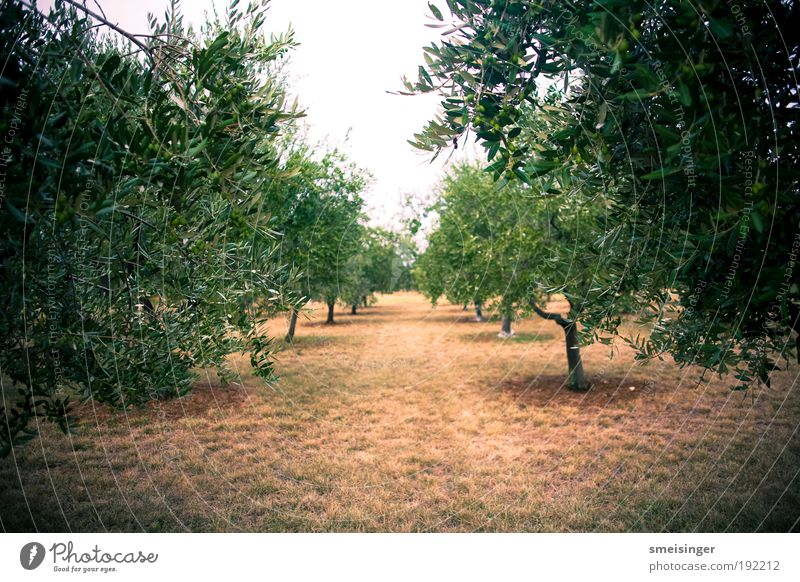 olive grove Agriculture Plantation Environment Nature Summer Tree Foliage plant Agricultural crop Olive tree Garden Park Forest Near Brown Green Conscientiously