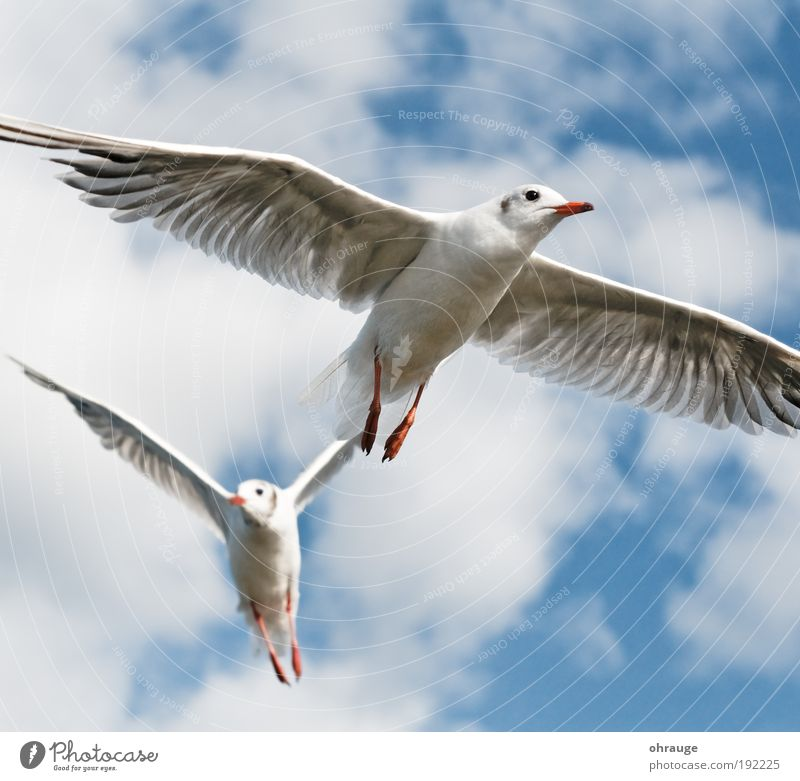 The seagulls Vacation & Travel Trip Far-off places Freedom Animal Air Sky Clouds Bird Wing Seagull Gull birds 2 Pair of animals Flying Esthetic Elegant Brave