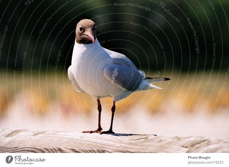 Ocean Beach Lake Bird Baltic Sea Seagull Darss Maritime Zingst Fischland Gull birds