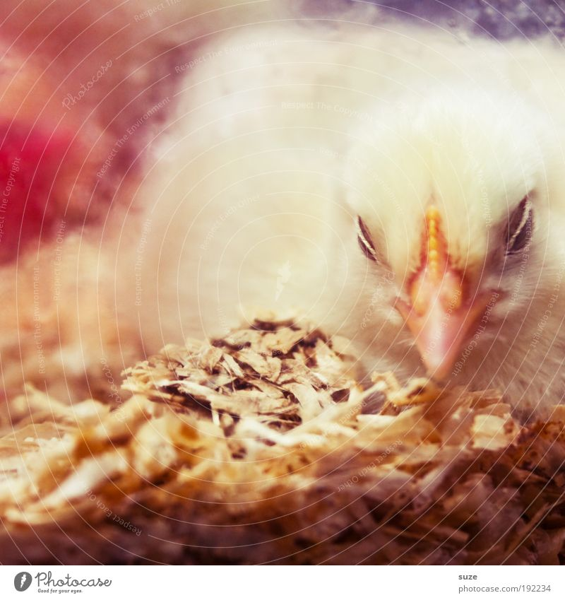 Beautiful Animal Yellow Happy Warmth Baby animal Beginning Sleep Fresh Soft Animal face Protection Cute Safety (feeling of) Beak Agriculture