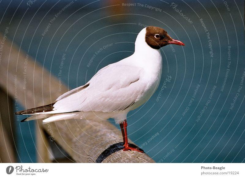 Ocean Lake Bird Baltic Sea Seagull Darss Maritime Zingst Fischland Gull birds
