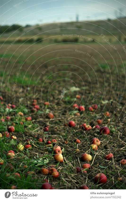 self-service Food Fruit Apple Nutrition Trip Thanksgiving Environment Nature Autumn Tree Field Old Lie Authentic Natural Original Gloomy Wild Brown Red Appetite