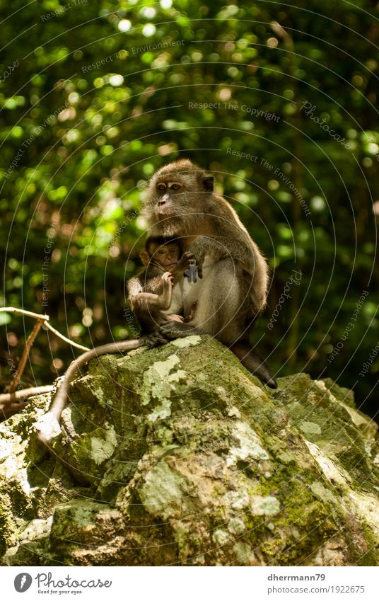 Baby monkey being suckled Animal Monkeys Appease Teat Mother Child Baby animal Intimacy 2 Group of animals Trust Protection Love of animals Relationship