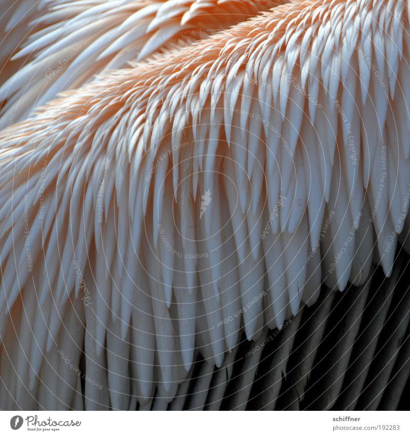 Nature Animal Bird Pink Arrangement Feather Zoo Tilt Plumed Pelican Queer fish
