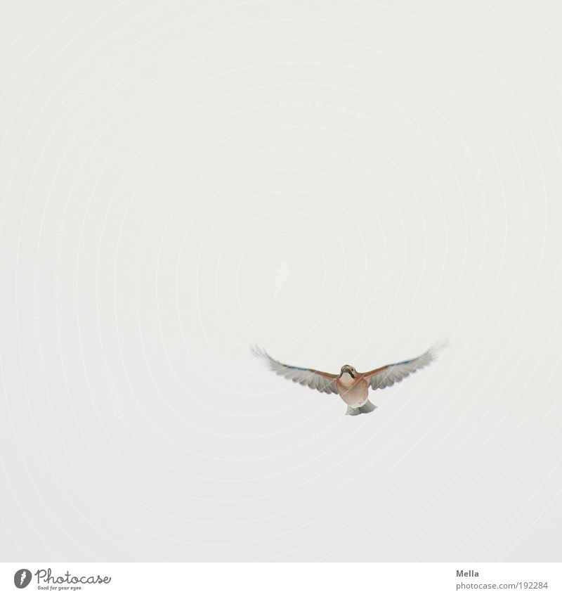 obligingness Environment Nature Animal Air Sky Wild animal Bird Jay 1 Flying Free Bright Small Natural Cute Movement Freedom Life Pure Colour photo