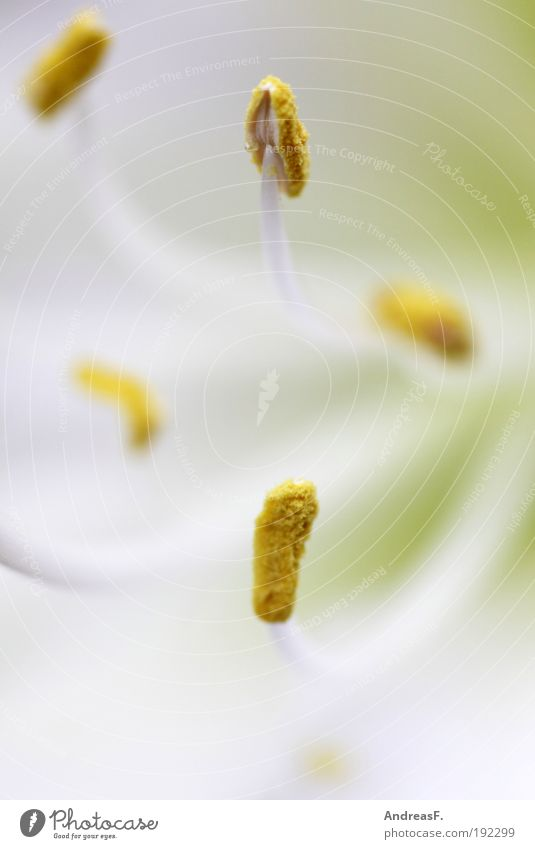Nature Plant Flower Yellow Spring Blossom Wellness Near Bee Pollen Blossom leave Stamen Macro (Extreme close-up) Light Amaryllis