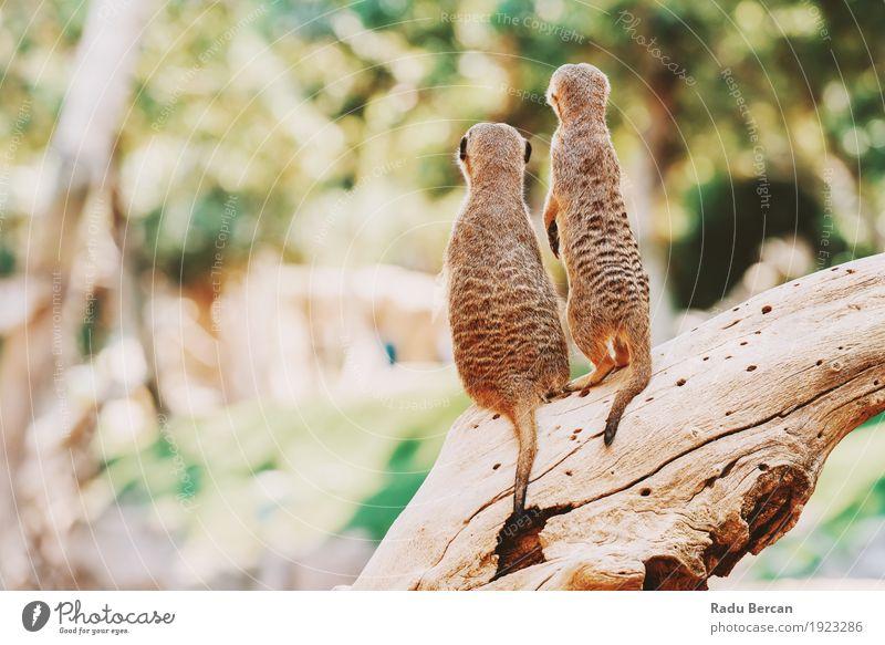 Meerkat or Suricate Family (Suricata Suricatta) in Africa Nature Colour Green Beautiful Tree Animal Forest Environment Life Funny Natural Family & Relations Small Happy Brown Together