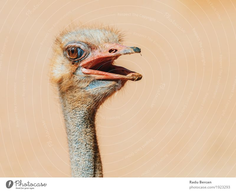 Funny Ostrich Bird Portrait Nature Animal Brown Wild Wild animal Observe Cute Friendliness Curiosity Long Africa Animal face Strange