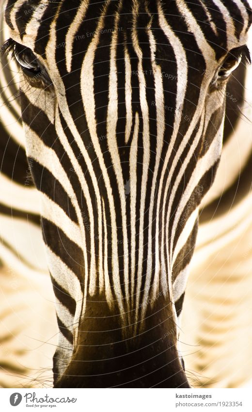 Portrait of a zebra. Beautiful Body Skin Face Safari Zoo Environment Nature Animal Park Wild animal Animal face 1 Stripe Feeding Stand Bright Small Brown Black