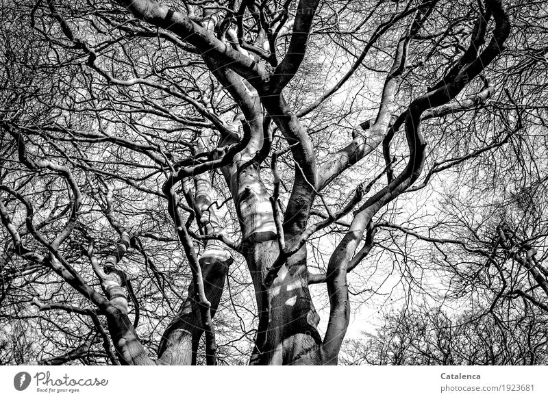 Look up Nature Plant Winter Tree Beech tree Forest branches Twigs and branches Wood Old Growth Large Gray Black White Majestic Senior citizen Esthetic