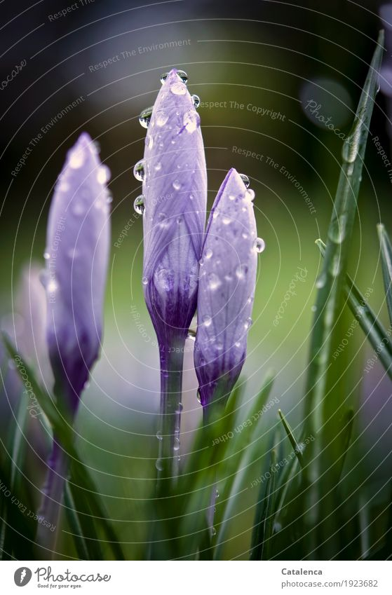 Crocuses V Nature Plant Spring Flower Blossom Garden Blossoming Fragrance Growth Esthetic Beautiful Sustainability Brown Green Violet Happiness Spring fever
