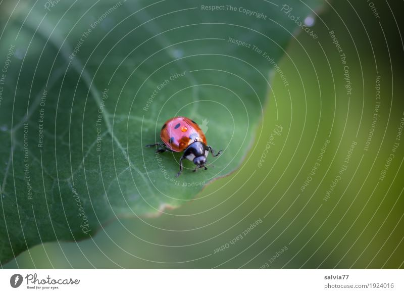 inconspicuous detail. Nature Plant Leaf Foliage plant Animal Beetle Ladybird Seven-spot ladybird Insect 1 Crawl Fresh Cute Above Positive Beautiful Green Red