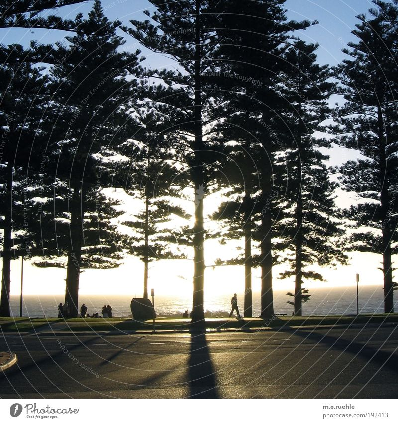pine shade tribes Group Nature Plant Water Sky Horizon Summer Beautiful weather Tree Coniferous trees Coast Beach Ocean Indian Ocean Perth Western Australia