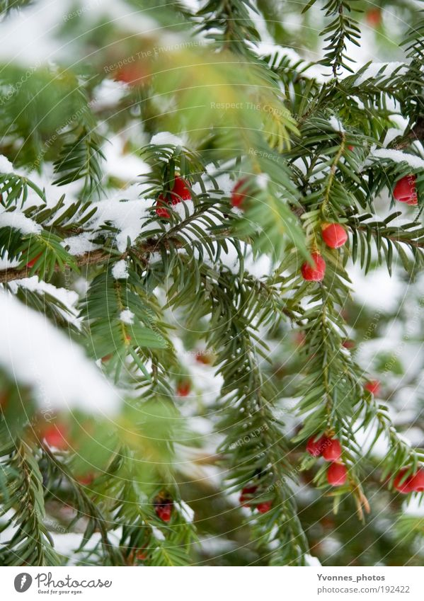 tricolour Winter Snow White Fir tree Fir needle Red Rawanberry Coniferous trees Frost Ice Frozen Nature Enchanting To go for a walk Winter walk Yew Poison Cold