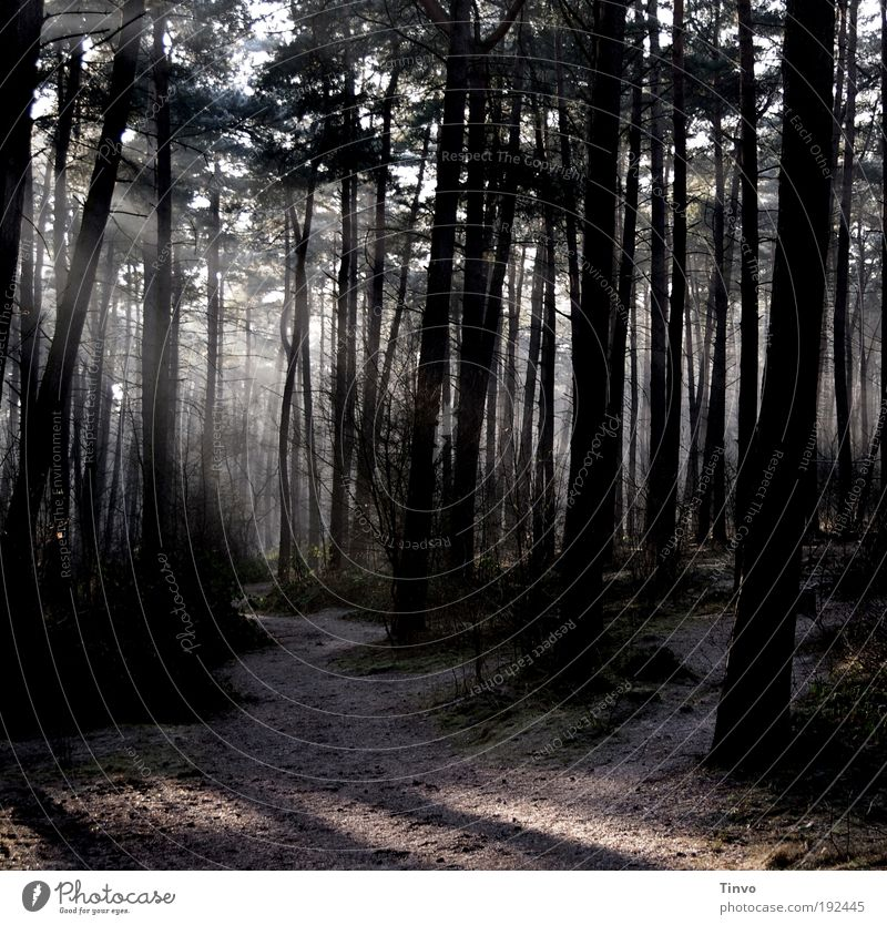 dawn is breaking Environment Nature Earth Beautiful weather Tree Forest Dark Moody Secrecy Loneliness Hope Calm Coniferous forest Fir tree Lanes & trails