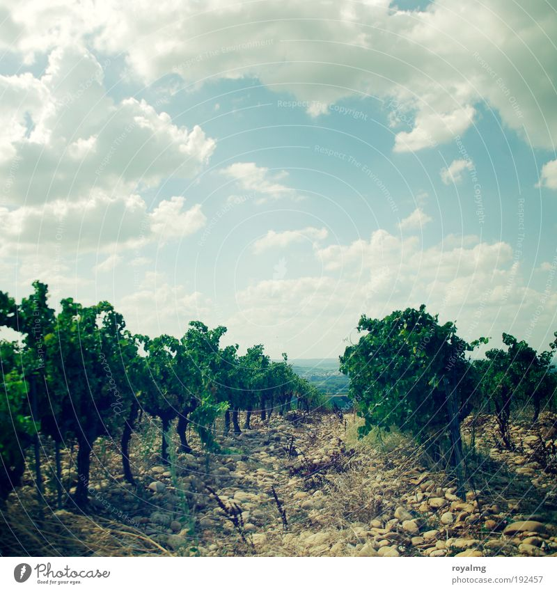 Châteauneuf-du-Pape Summer Summer vacation Sun Sky Clouds Plant Agricultural crop Authentic Wine growing Vineyard Bunch of grapes Vine leaf Grape harvest