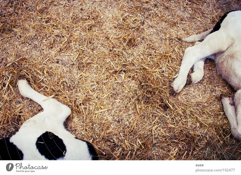Animal Baby animal Funny Legs Lie Pair of animals Authentic In pairs Sleep Simple Dry Agriculture Cow Section of image Animalistic Mammal
