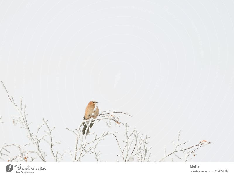 on top Environment Nature Plant Animal Sky Winter Climate Climate change Weather Ice Frost Snow Tree Branch Wild animal Bird Jay 1 Crouch Sit Free Bright