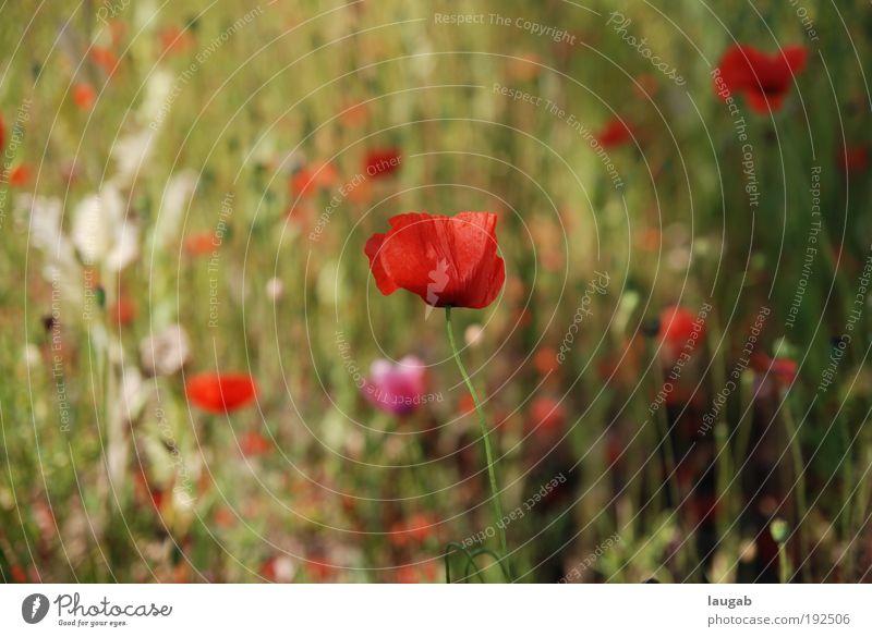 Nature Green Red Plant Flower Environment Emotions Happy Blossom Contentment Esthetic Poppy Pride Honest Poppy blossom Kassel
